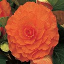 De Ree Summer Flowering Begonia 6 Assorted Varieties