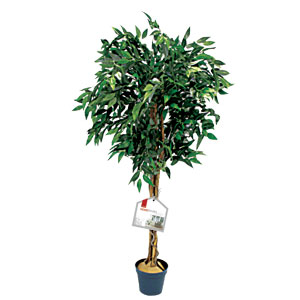 DeVille Fig Tree 4ft PPCT