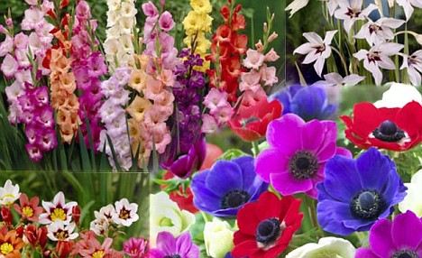 De Ree Summer Flowering Bulbs Assorted Varities